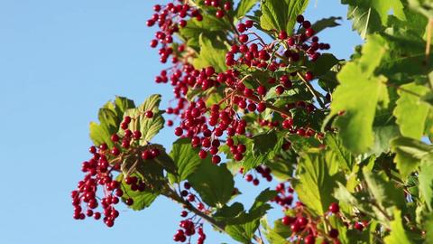 Viburnum ripe red berries Live Action