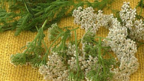 Yarrow (Achillea Millefolium) Flowers (Medicinal Plant) Isolated on yellow backg Footage