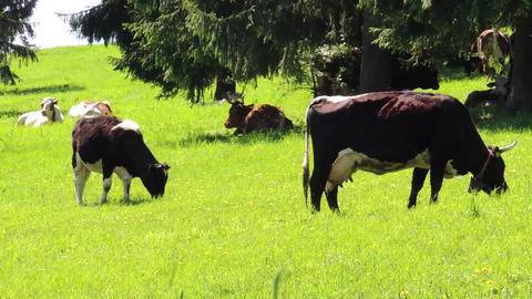 Grazing cows on pasture on fresh spring grassy meadow Footage