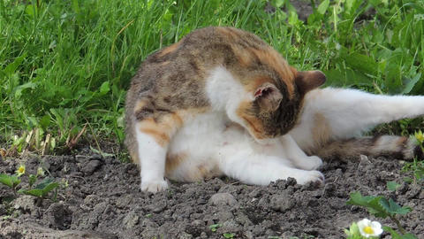 Domestic cat is licking and cleaning herself in the garden Footage