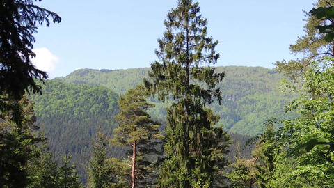 Big trees in the valley are swinging in the wind with calming scenery in the bac Footage