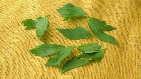 Lovage herb on yellow background. Culinary aromatic herbs Live Action