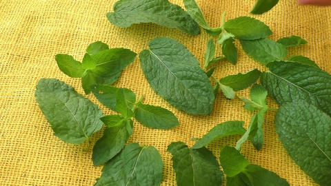 Culinary aromatic herbs. Closeup fresh peppermint leaves Footage