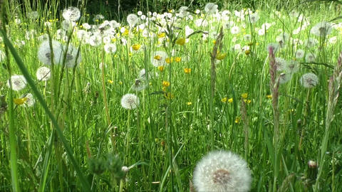Spring meadow with dandelions. Ripe seeds of dandelions Bild