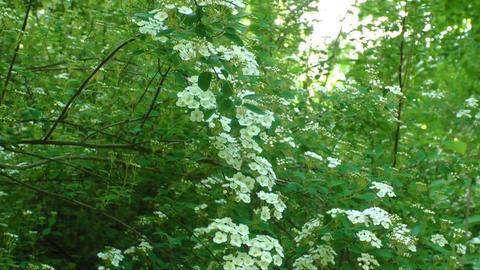 Spring landscape. Brides wreath. White flowering shrub Spirea aguta Live Action