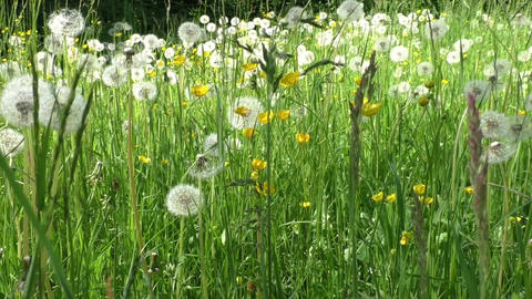 Spring meadow with dandelions. Ripe seeds of dandelions Footage