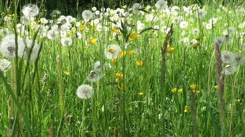 Spring meadow with dandelions. Ripe seeds of dandelions Footage