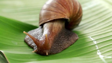 Snail close-up on a green background. Snail in its natural environment. Snails Live Action