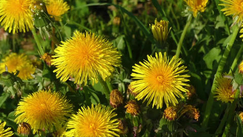 Yellow dandelion flowers with leaves in green grass Footage