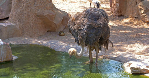 Gray Ostrich Drinking Water Live Action