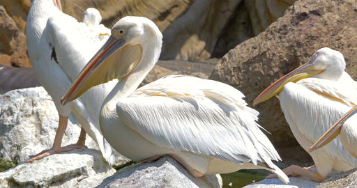 White Pelican Birds Footage