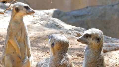 Meerkat or Suricate (Suricata Suricatta) in Africa Footage