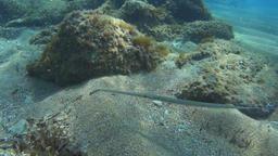 Bluespotted Cornetfish