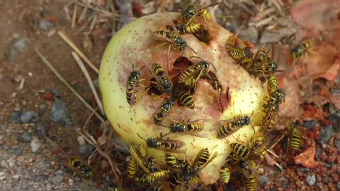 Wasps collect apple fruit sweet juices on the ground Footage