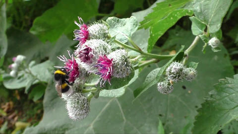 Bumblebee on thistle flower in late summer Footage