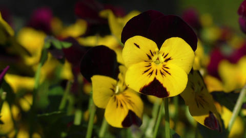 Viola cornuta, horned pansy, tufted pansy Footage
