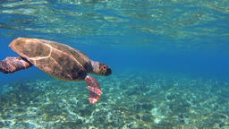 Underwater green sea turtle (Chelonia mydas) take a breath and say bye Footage