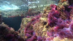 Colorful pink plants underwater in the current Footage
