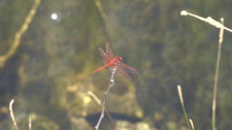 Red dragonfly on a branch fly away and come back Footage