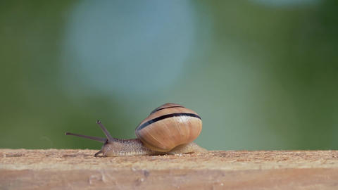 Medium Shot of a White Lipped Snail Live Action