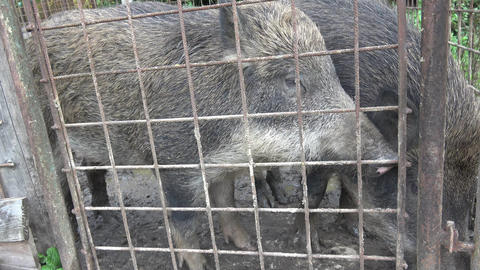 Pigs behind bars. Boars behind the iron fence Live Action