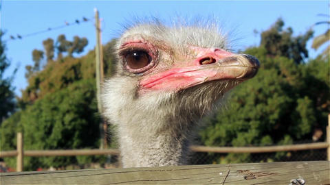 Angry Ostrich Footage