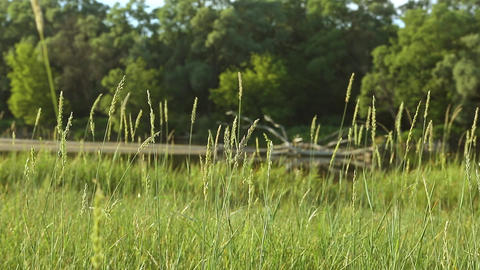 High Blades of Green Grass Background Forest River Footage