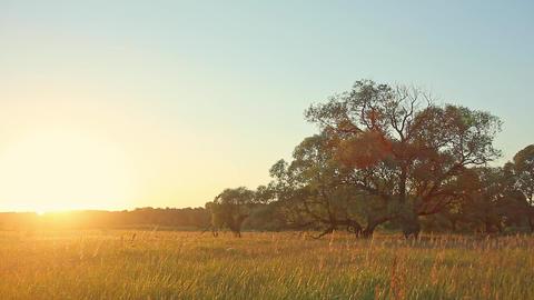 Sunset Tree in Field Footage