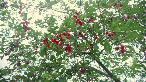 Red and Sweet Cherries on a Branch Footage