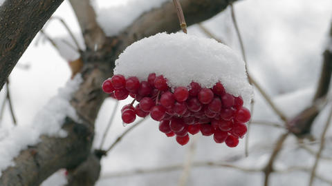Bunch Of Red Viburnum Berries Covered With Snow Slowmotion Footage