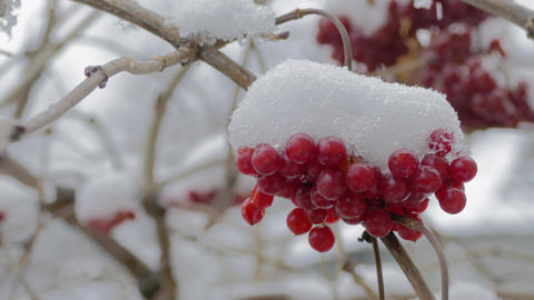 Red Viburnum Berries Footage