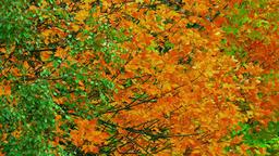 4K Autumn Tree / Autumn Forest / Autumn Leaves Live Action