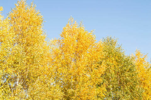 Panorama of bright yellow and orange trees against a clear blue sky, tree tops, beautiful autumn