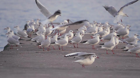 Seagulls Soar off the Concrete Pier Footage