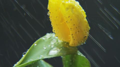 Yellow Tulip in the Rain Rotating Footage