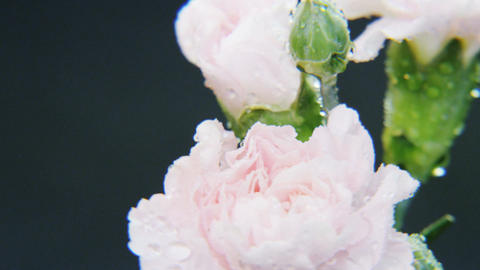Wet White Roses Rotating Footage