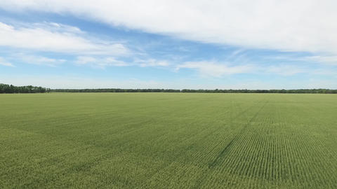Aerial drone over a green crop field with neat rows and blue sky above Live Action