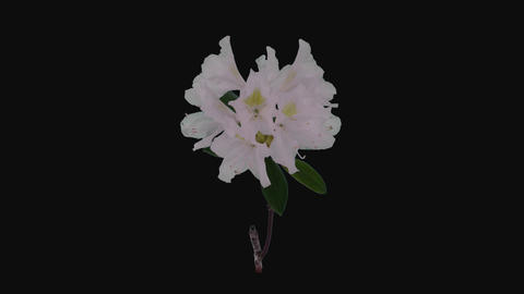 Time-lapse of opening white rhododendron branch, 4K with ALPHA channel Live Action