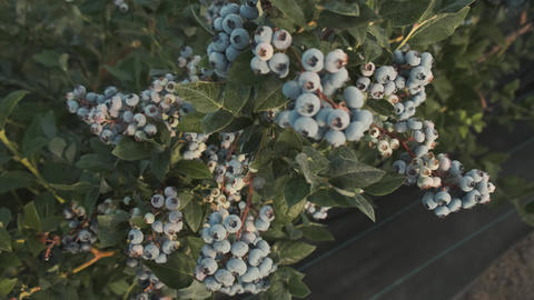 Panoramic camera move through rich harvest crop blueberry bush. Fresh and ripe Live Action