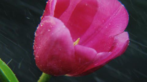 Purple Tulip in the Rain Rotating Footage