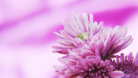 Purple Flowers Rotating on a Deep Purple Background Footage