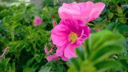 Wild rose flower Footage
