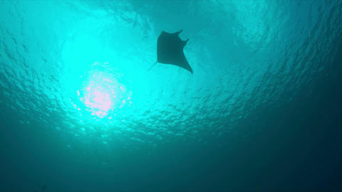 4k Manta ray swims in blue water Footage