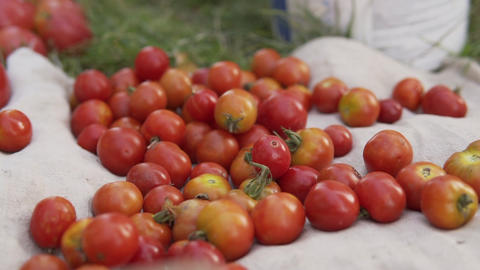 Ripe organic red tomatoes, ready for sale and consumption lie in a cardboard box Live Action