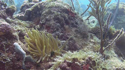 Anemone on the reef in Caribbean sea Live Action