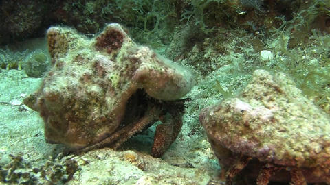 Hermit crab on the sandy bottom in Caribbean sea Live Action