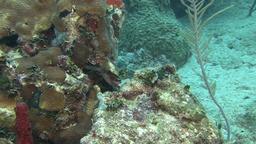 Moray eel in Caribbean sea Live Action