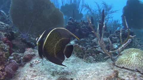 Angelfish in Caribbean sea Live Action