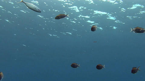 School of fish in the blue in Caribbean sea Live Action