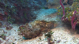 Scorpionfish in Caribbean sea Live Action